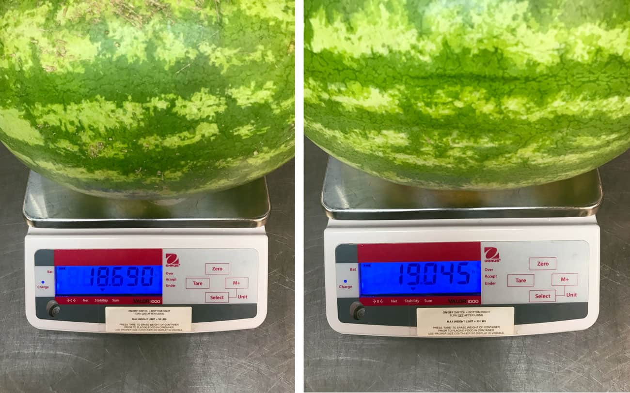 two scales weighting watermelon